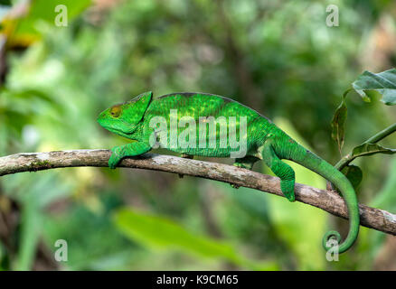 Femme caméléon panthère, parson's chameleon, calumma parsonii (), (chameleonidae), endémique de Madagascar, le parc Banque D'Images