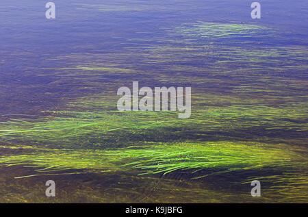 Les algues de la rivière répartis sur, comme arrière-plan. selective focus sur la surface de l'eau Banque D'Images