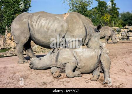 Rhinocéros blanc rhinocéros blancs / famille (Ceratotherium simum) dans zoo avec des cornes coupées comme précaution Banque D'Images