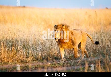 Prowling mâle adulte Mara lion (Panthera leo) dans une course pour faire face à un rival dans la longue herbe savane, Masai Mara, Kenya