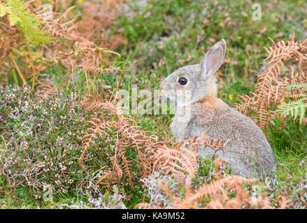 Lapin lapin commun - Oryctolagus cuniculus - jeunes - assise dans scottish bracken et Heather, unst, Shetland Banque D'Images