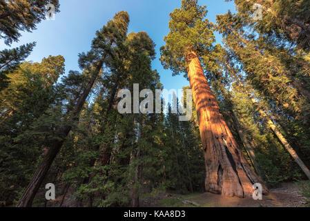 Redwood à Sequoia National Park, Californie.