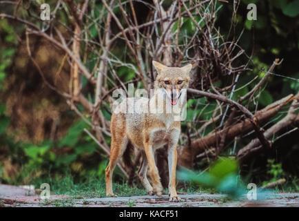 Le Chacal, indiennes (Canis aureus indicus), velavadar blackbuck national park, Gujarat, Inde