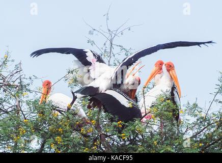 Painted stork (mycteria leucocephala), l'accouplement, les oiseaux dans la colonie de nidification de keoladeo ghana Banque D'Images