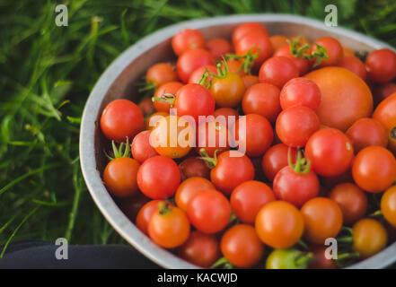 Tomates cerises fraîches dans une passoire. Banque D'Images
