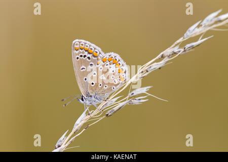 Papillon Bleu commun (Polyommatus icarus) femelle adulte sur l'herbe seedhead resing. Suffolk, Angleterre. Juillet.