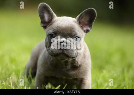 Bouledogue français. Puppy (6 semaines) debout dans l'herbe. Allemagne Banque D'Images
