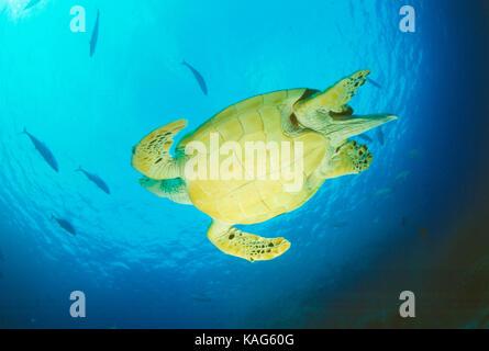 L'Égypte. mer rouge. Vue du dessous de la tortue imbriquée nager sous l'eau. Banque D'Images