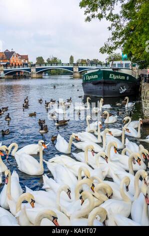 Les cygnes et les bernaches du Canada natation sur la Tamise à Windsor au Royaume-Uni. Banque D'Images