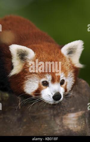 Le panda rouge, Ailurus fulgens, portrait, Banque D'Images