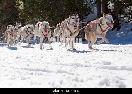 Traîneau à chiens, détail, chiens de traîneaux, exécuter, hiver, Banque D'Images
