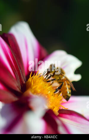 Abeille à miel (Apis mellifera) sur blanc rouge dahlia. vertical close up image. Banque D'Images