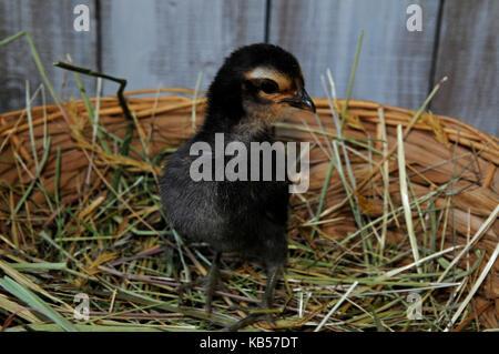 Chickss dans le panier, les oisillons dans le nid en face de mur en bois blanc, barbu d'anvers Banque D'Images