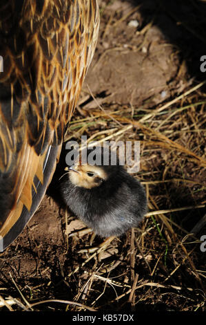 Barbu d'anvers chickss à côté de poulet, medium close-up Banque D'Images