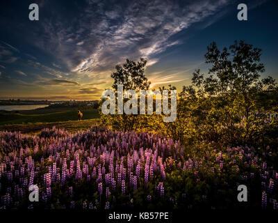 Au coucher du soleil, des chevaux Islandais icelandic horse race dans l'été de fleurs de lupin, l'islande,