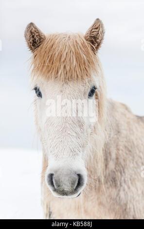 Portrait Islandais Horse, Islande le cheval islandais est une race développée en Islande avec de nombreuses qualités uniques. Ils sont durables et endurcis et dans leur pays natal, ils ont peu de maladies; la loi islandaise empêche les chevaux d'être importés dans le pays et les animaux exportés ne sont pas autorisés à revenir. Banque D'Images