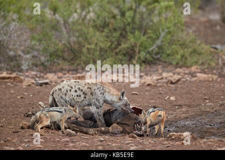 L'Hyène tachetée (Crocuta crocuta) et le chacal (canis mesomelas) à une carcasse de zèbre, Kruger National Park, Banque D'Images