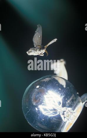 Silkmoth, Bombyx mori. Volant autour d'ampoule lampe de nuit attirés par la lumière. Portugal Banque D'Images