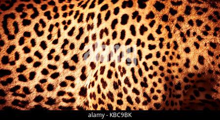 Belle peau de léopard, fond orange naturel avec des taches noires de la Fourrure animale Africaine sauvage, motif Banque D'Images
