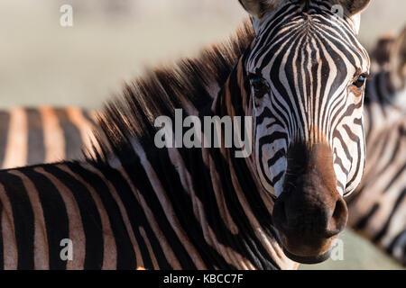 Portrait d'un zèbre commun (Equus quagga) regardant la caméra, Tsavo, Kenya, Afrique de l'Est, l'Afrique Banque D'Images