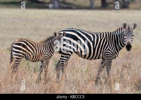 Un zèbre commun ( Equus quagga) avec son poulain, regardant la caméra, Tsavo, Kenya, Afrique de l'Est, l'Afrique Banque D'Images