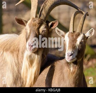 Portrait en extérieur couleur de couple de deux chèvres à regarder dans la même direction, pris en plein soleil Banque D'Images