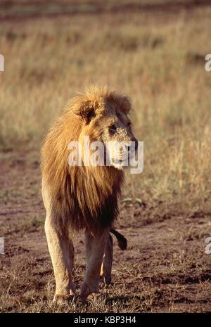 L'Afrique. kenya. Masai Mara national reserve. la faune. lion mâle. Banque D'Images