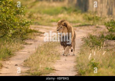 African lion mâle énorme vers la caméra marche sur chemin de sable, de patrouille, à la recherche de proies, au Banque D'Images