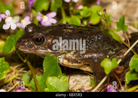 UK grenouille rousse, Rana temporaria, dans la végétation par le côté d'un étang de jardin Banque D'Images