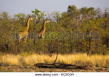 Les Girafes en regardant les lions dans le coucher du soleil Banque D'Images