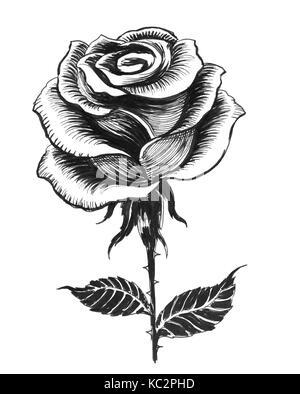 White Rose Illustration Noir Et Blanc Encre Banque D Images Photo