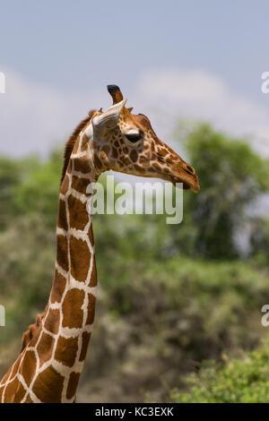 Giraffe réticulée (Giraffa camelopardalis reticulata), Samburu Jeu National Park Reserve, Kenya, Afrique de l'Est