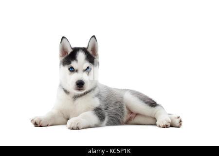 Chiot chien husky sibérien aux yeux bleus, se trouvant sur le sol. Banque D'Images