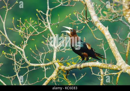 Chestnut-dirigé oropendola gros oiseau sur une branche d'arbre Banque D'Images