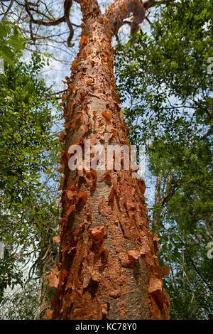 Gumbo Limbo-arbre à l'écorce de déroulage Banque D'Images
