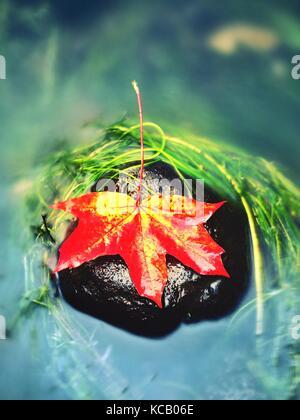 Pris jaune orange feuille d'érable sur de longues algues vertes. pierre symbole de couleur automne. à venir dans l'eau miroir de boulder mountain river.