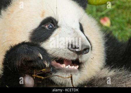 Le panda géant, Ailuropoda melanoleuca, à base de recherche panda, Chengdu, Sichuan, Chine Banque D'Images