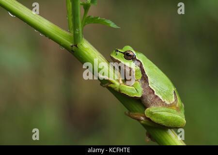 European tree frog (Hyla arborea) sur une plante verte Banque D'Images