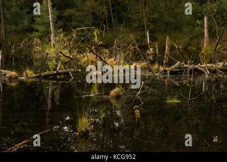 Vue sur un marais et zones humides tourbière à lueneburg heath allemagne Banque D'Images