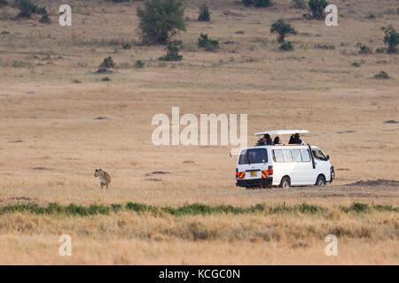 Véhicule de tourisme regarder lion (Panthera leo), Parc National de Masai Mara Game Reserve, Kenya, Afrique de l'Est Banque D'Images