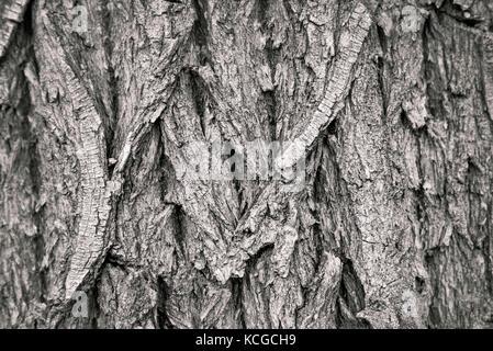 L'écorce des arbres cottonwood close-up la texture en monochrome Banque D'Images