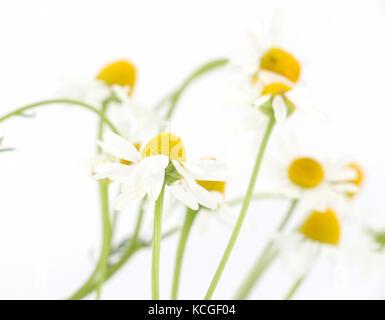 Image d'une fleur de camomille isolé sur fond blanc,dof peu profondes Banque D'Images