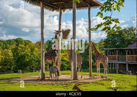 Les Girafes de manger au cours de l'alimentation en temps de paille zoo Banque D'Images