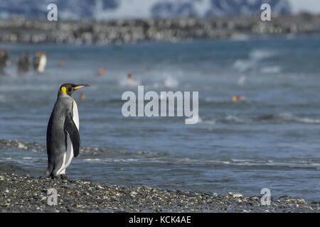 Manchot royal (Aptenodytes patagonicus) perché sur un éperon beach sur l'île de Géorgie du Sud.