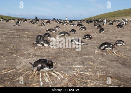 Gentoo pingouin (Pygoscelis papua) à sa colonie de nidification dans les îles Falkland