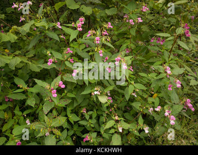 Balsamine de l'Himalaya en fleurs aux côtés de plus en plus ligne de chemin de fer, Carmarthenshire, UK