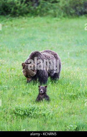Mère et son Petit Ours grizzli (Ursus arctos horribilis) Mère et son petit, humide de l'herbe humide, d'alimentation Banque D'Images