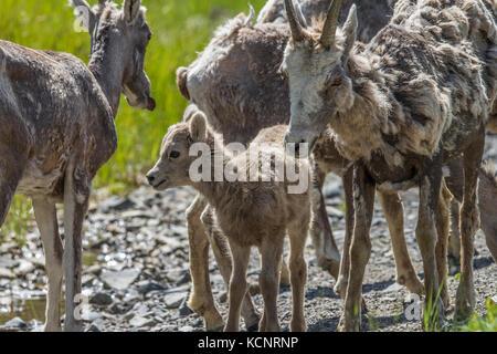 Rocky Mountain bighorn (Ovis canadensis) Rocky Mountain Agneaux et brebis dans le parc provincial de Kananaskis, Banque D'Images