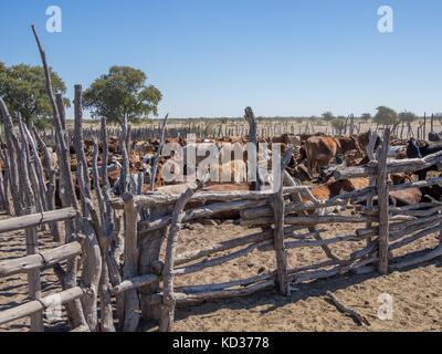 Boîtier de bovins traditionnels en bois ou un stylo avec vaches dans le désert du Kalahari, au Botswana, en afrique australe