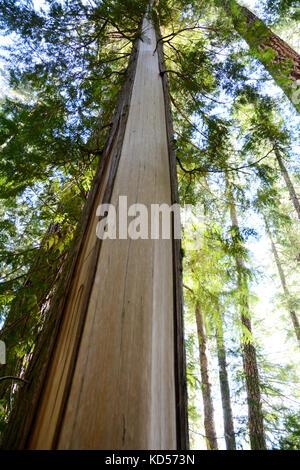 Le tronc d'un cèdre rouge de l'Ouest avec son écorce arrachée. Également connu sous le nom d'un arbre culturellement Banque D'Images
